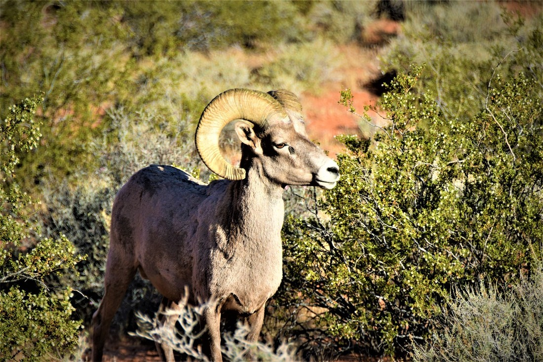 Bighorn Sheep In Valley Of Fire State Park Nature Travelers