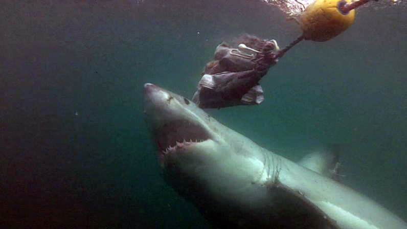 Great White Shark, Dyer Island, South Africa