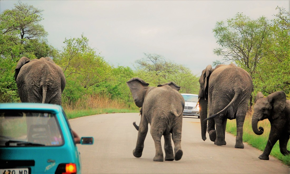 Elephants in Road, Kruger National Park, South Africa
