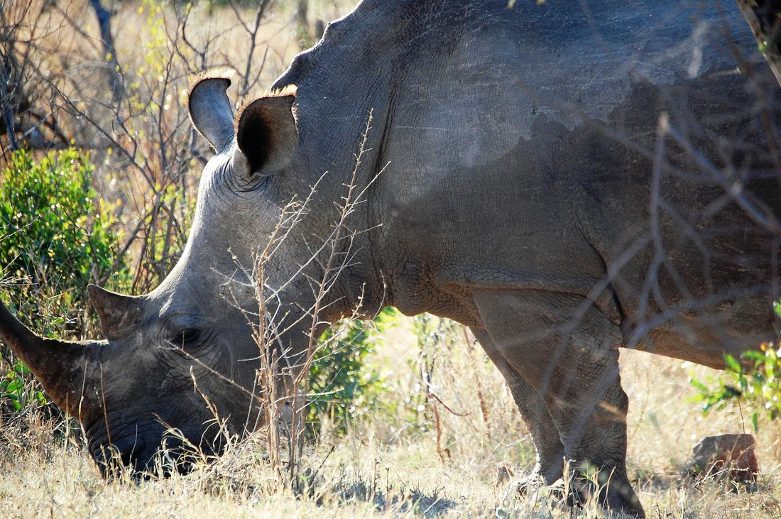 White Rhino, Kruger National Park, South Africa
