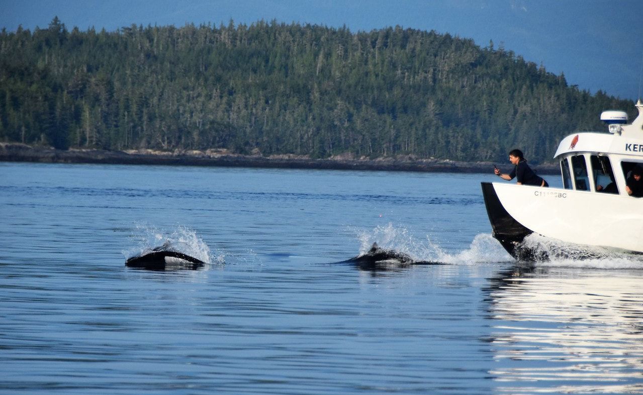 Dall's Porpoises Bow Riding - Orca Dreams