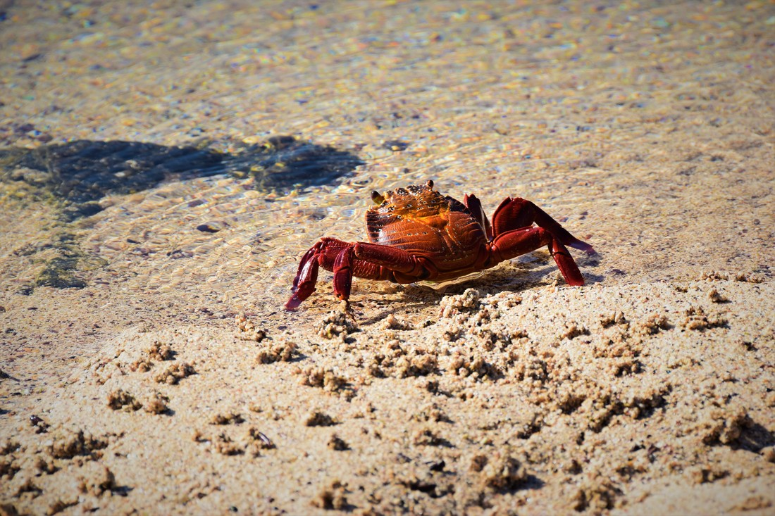 Galapagos Islands Sally Lightfoot Crab Dragon Hill