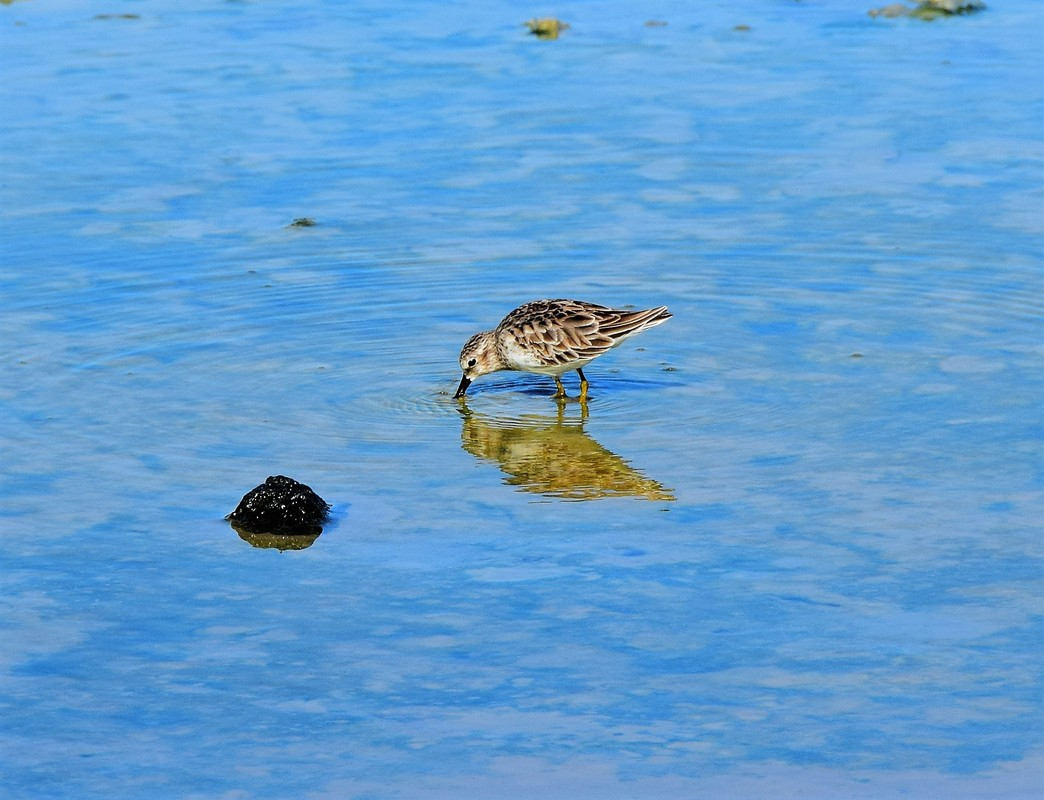 Galapagos Islands Least Sandpiper Dragon Hill