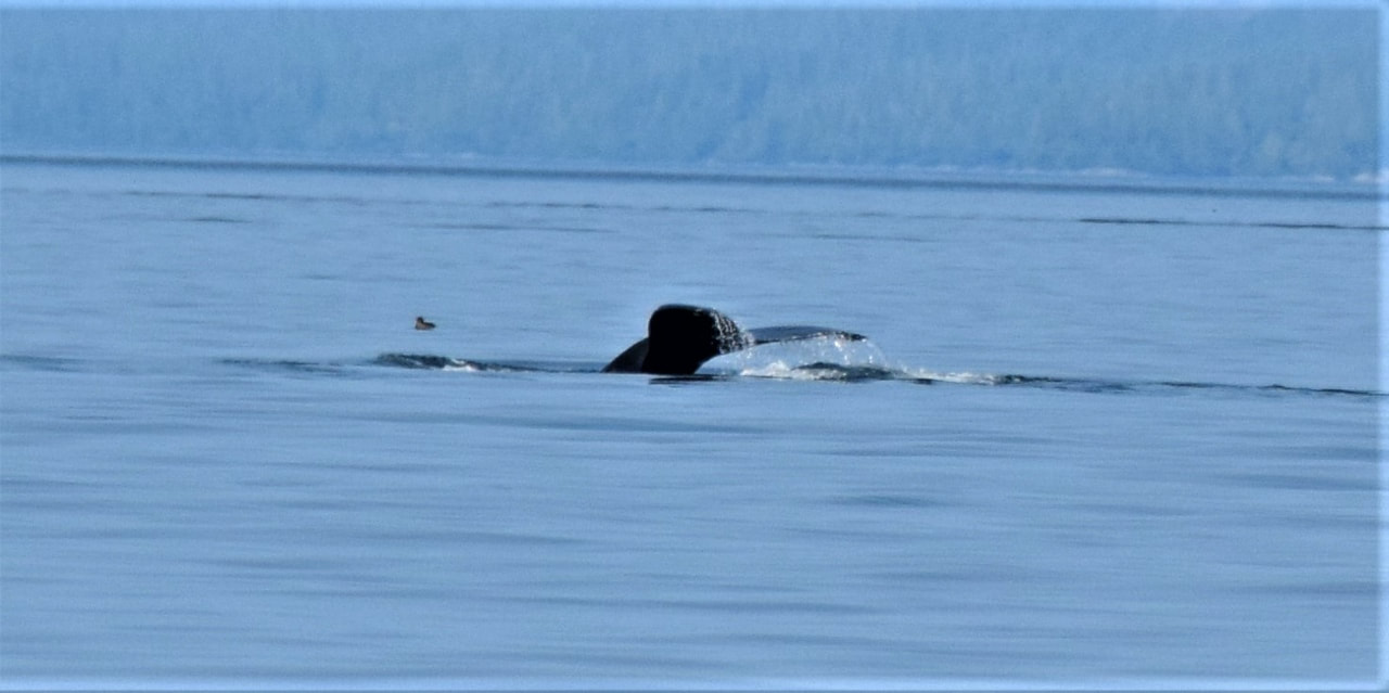 Humpback Whale Tail - Orca Dreams