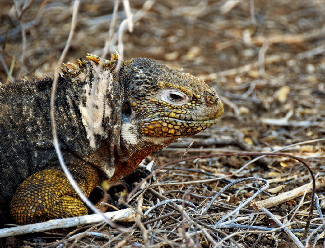 Galapagos Islands Land Iguana Dragon Hill