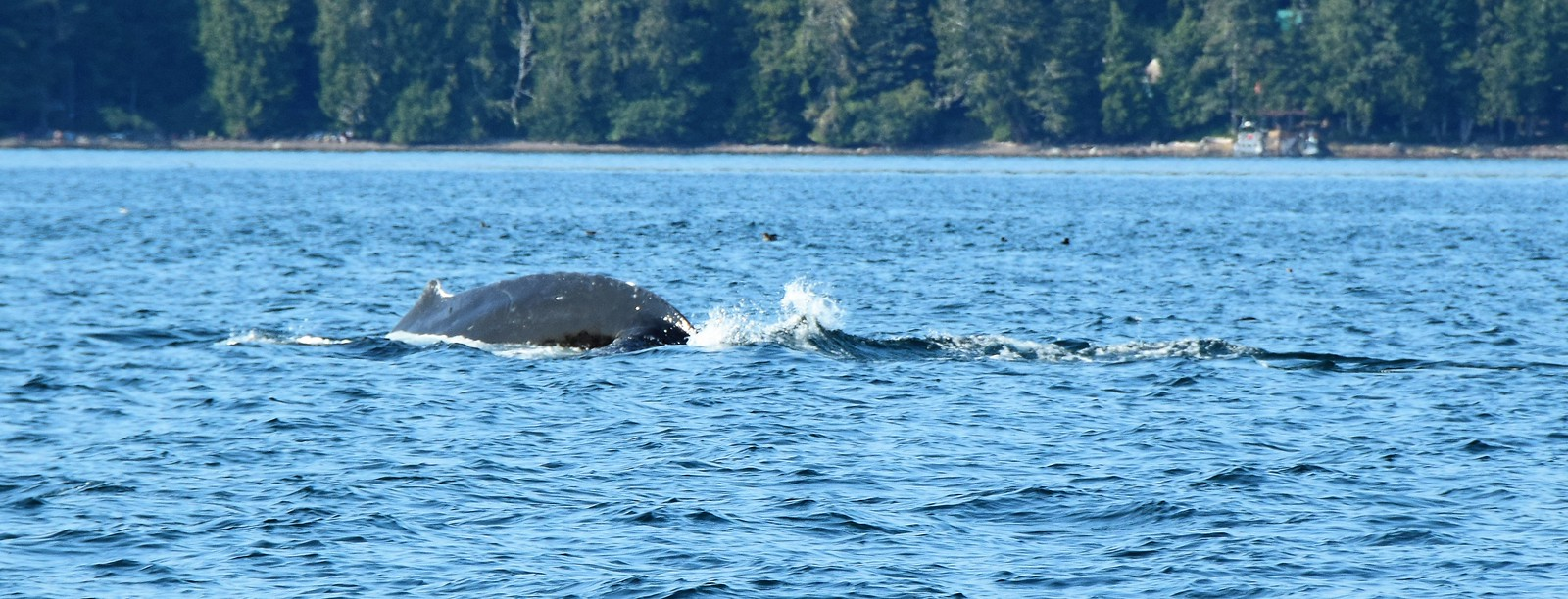 Humpback Whale - Blackfish Sound, Vancouver Island