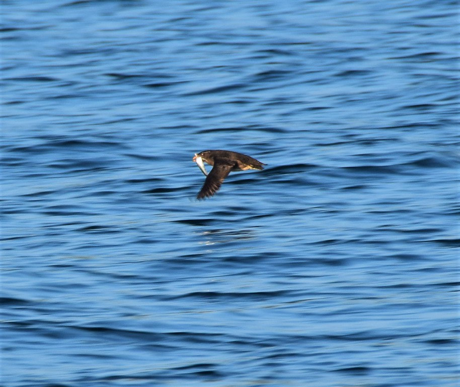 Rhinoceros Auklet in flight with fish