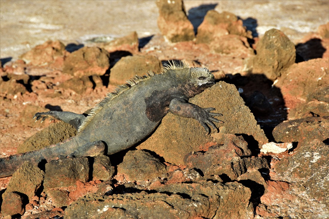 Galapagos Islands Marine Iguana Dragon Hill