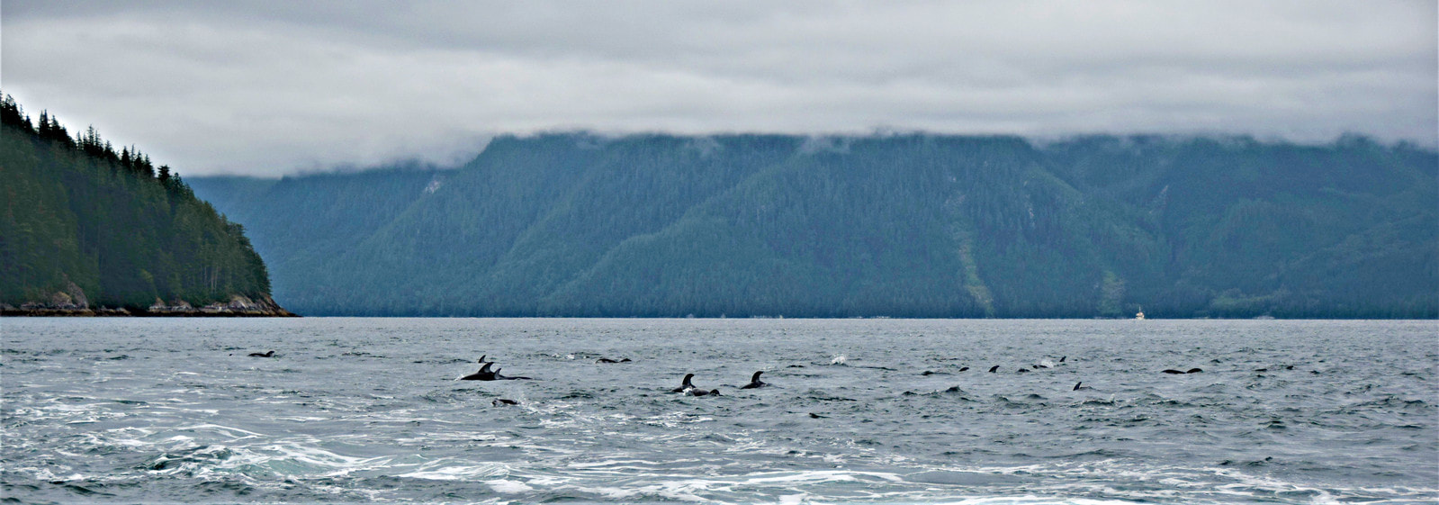 Pacific White-sided Dolphins - Vancouver Island Photo Tours
