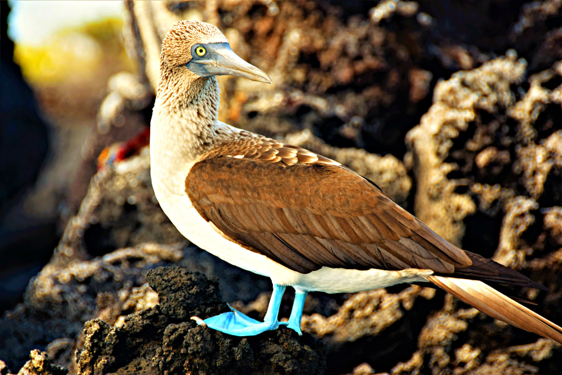 Galapagos Islands Black Turtle Cove Blue-footed Booby