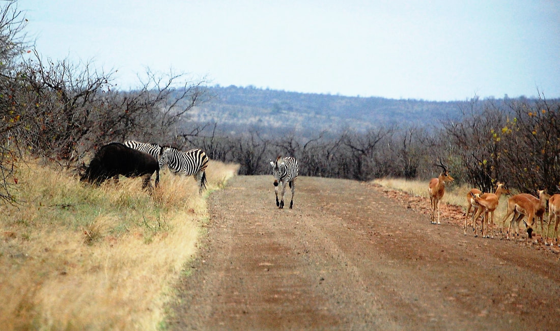 Zebra, Impala, Wildebeest, Kruger National Park, South Africa