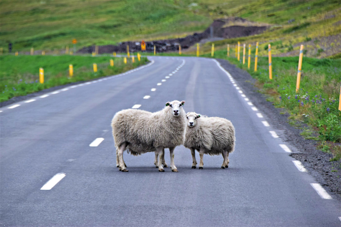 Sheep In The Road - West Fjords - Iceland