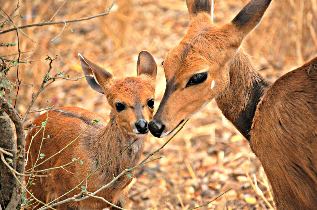 Bushbuck, Kruger National Park, South Africa