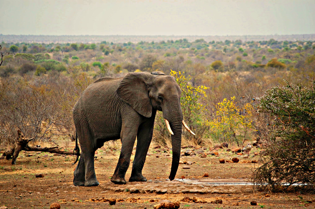 Elephant, Kruger National Park, South Africa