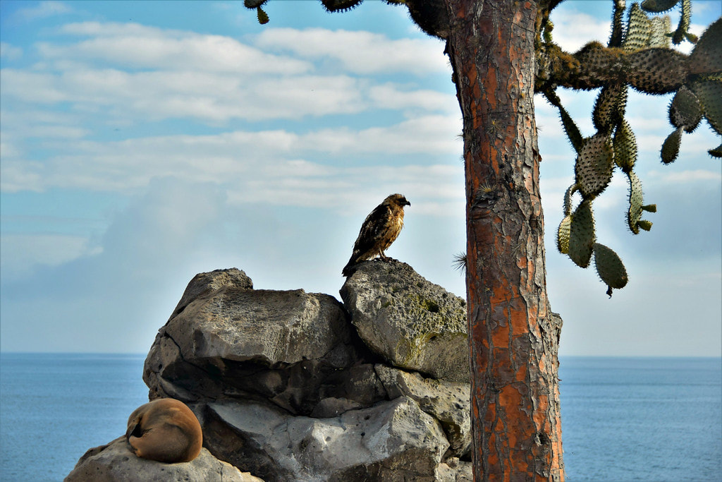 Galapagos Islands Santa Fe Island Hawk