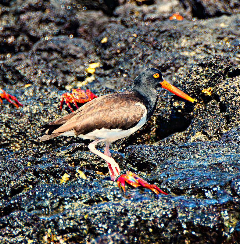 Galapagos Islands Black Turtle Cove American Oystercatcher