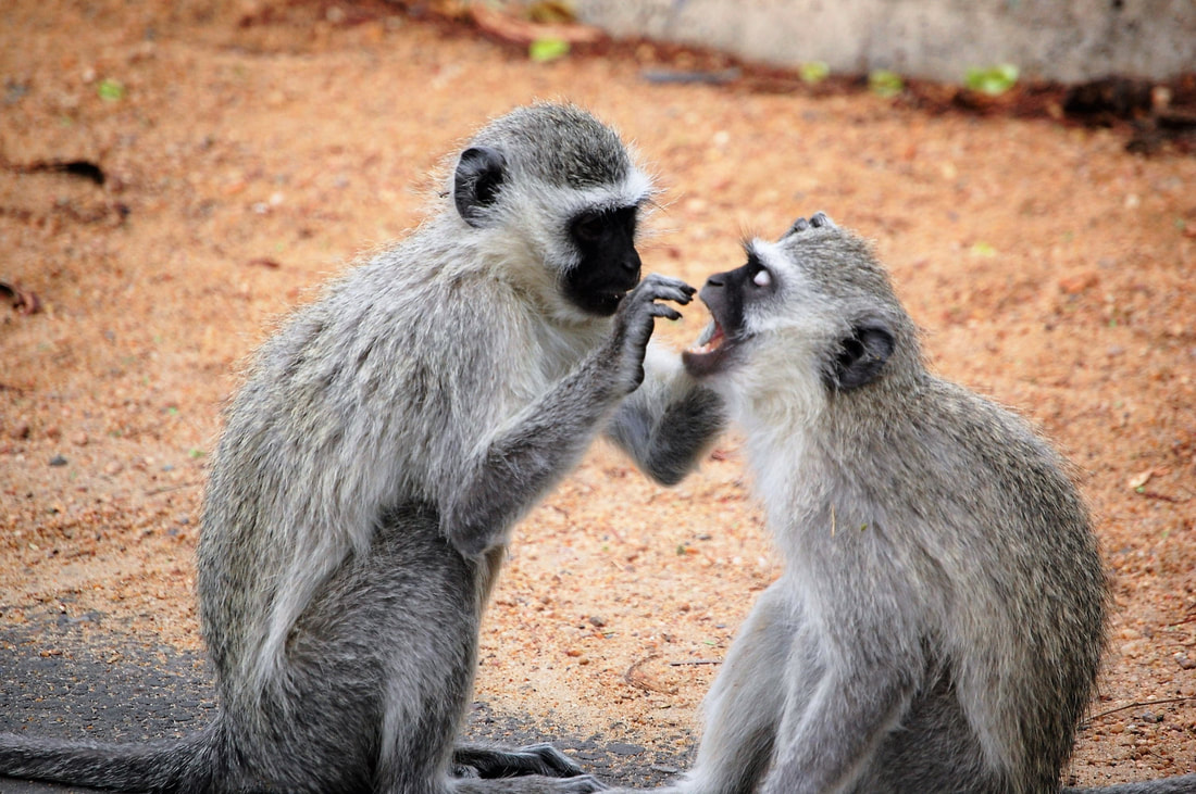 Vervet Monkeys, Kruger National Park, South Africa