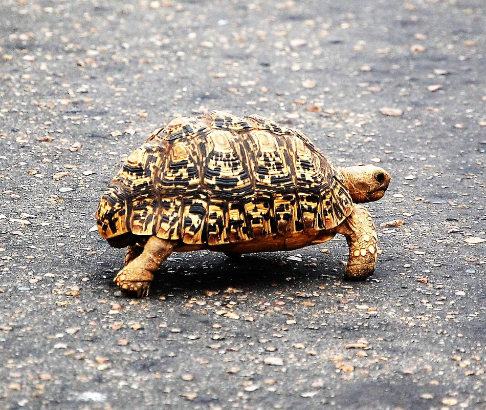 Leopard Tortoise, Kruger National Park, South Africa