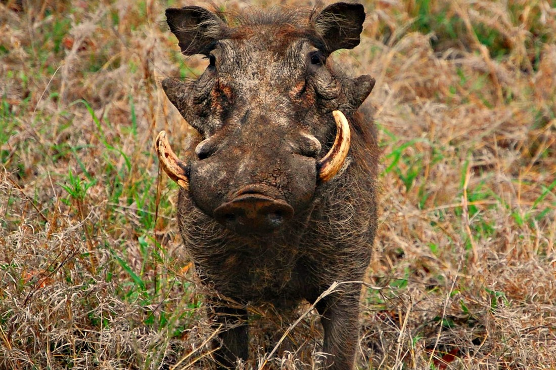 Warthog Boar with Tusks, Kruger National Park, South Africa