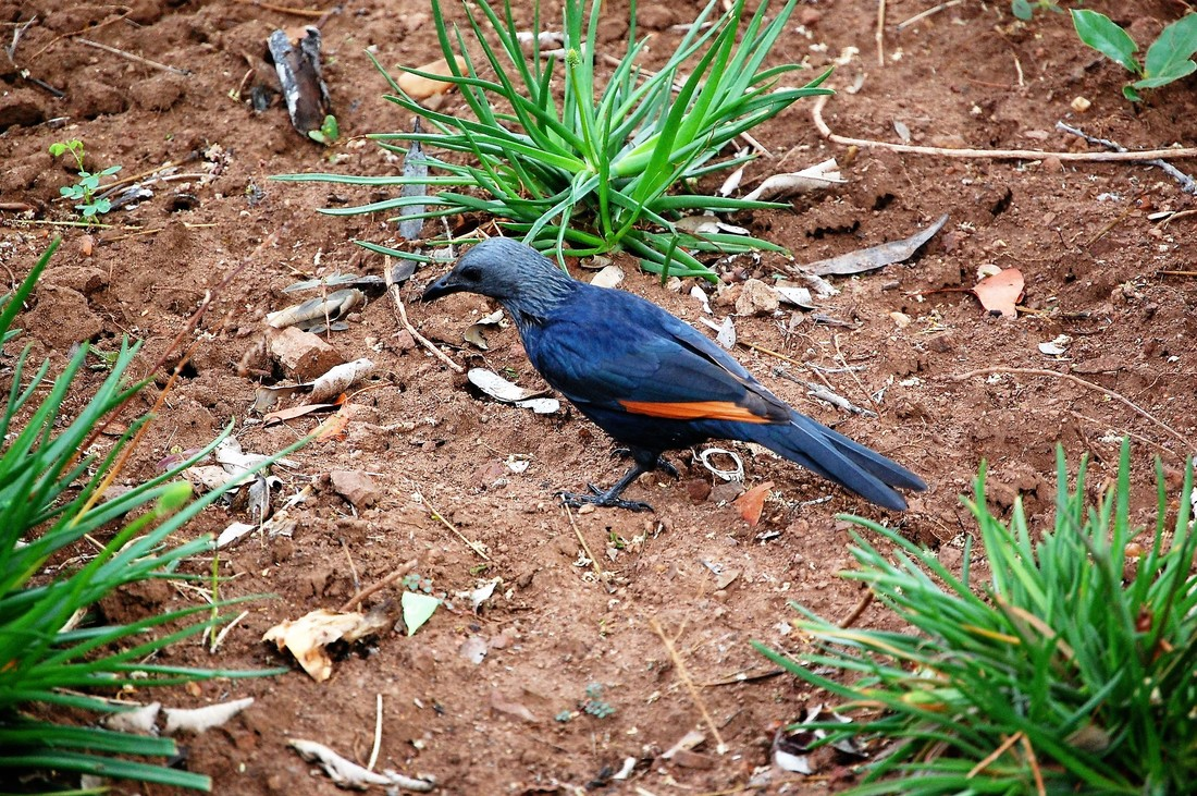 Red-winged Starling, Olifants, Kruger National Park, South Africa