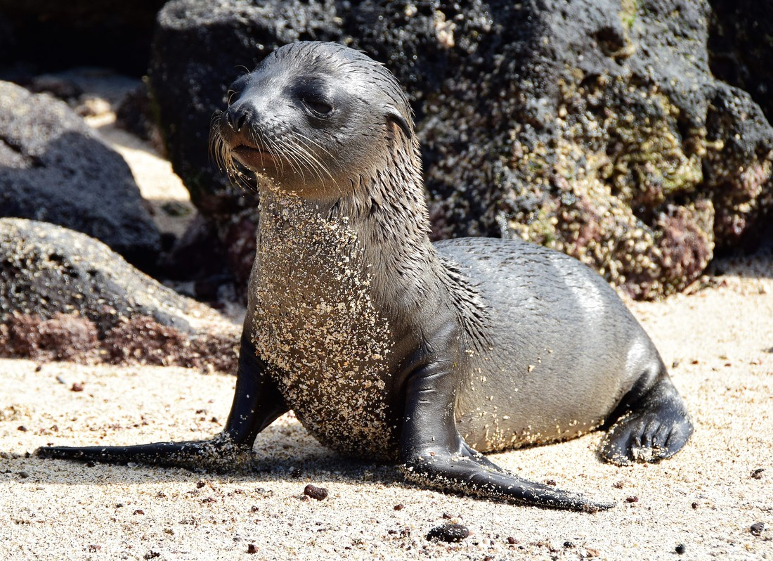 Galapagos Islands Santa Fe Island Sea Lion Pup