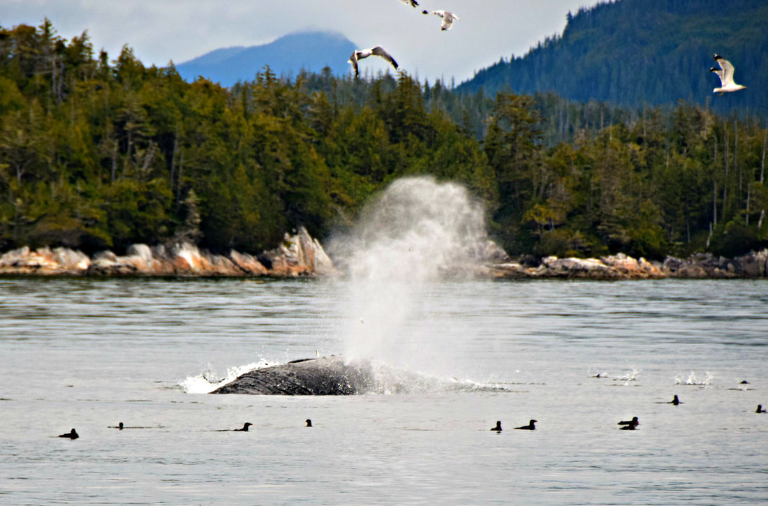 Humpback Whale - Vancouver Island Photo Tours