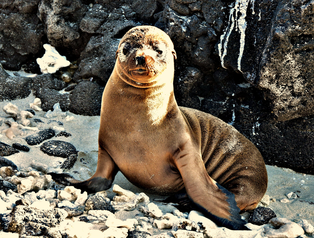 Galapagos Islands Chinese Hat Sea Lion