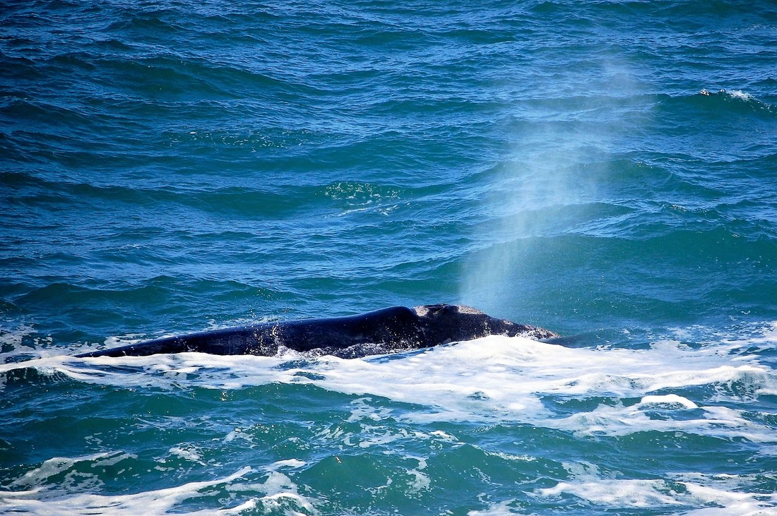 Southern Right Whale Spout, Hermanus, South Africa