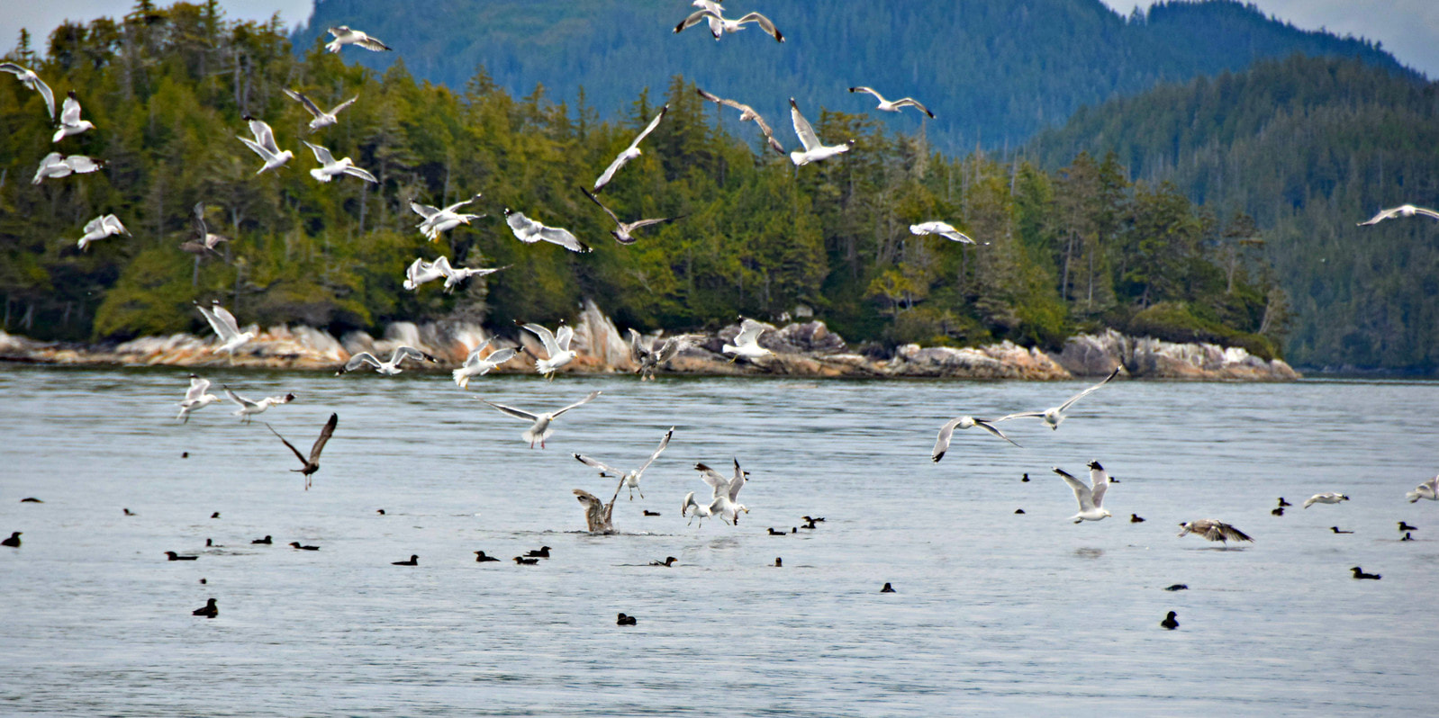 Gulls over bait ball - Vancouver Island Photo Tours