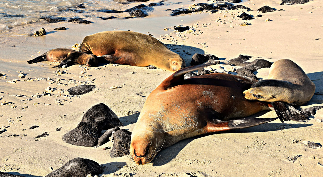 Galapagos Islands Chinese Hat Sea Lions