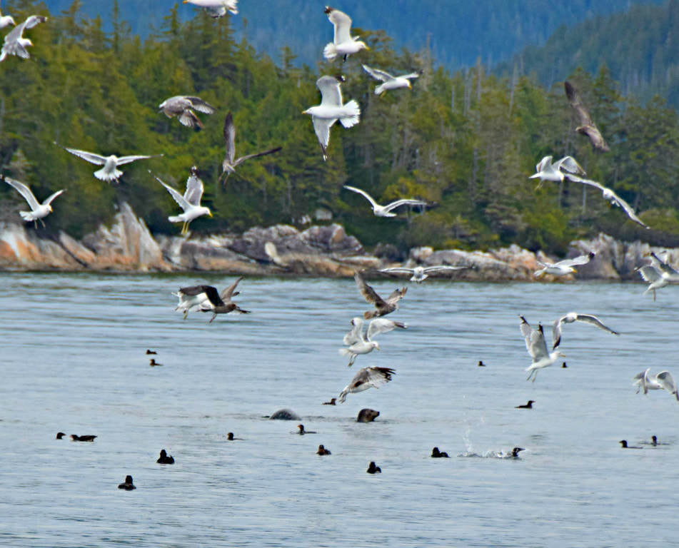 Gulls, auklets, & seals - Vancouver Island Photo Tours