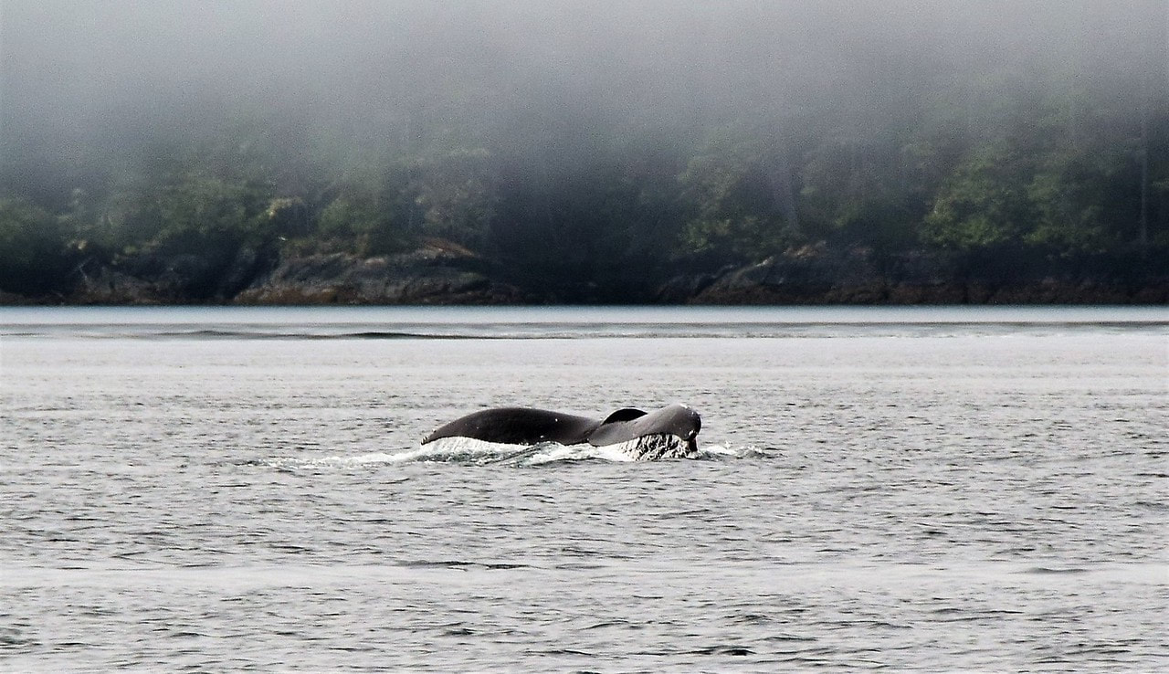 Humpback Whale Tail, Blackney Pass, Vancouver Island