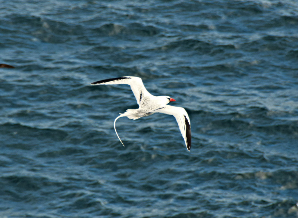 Galapagos Islands South Plaza Island Red-billed Tropicbird