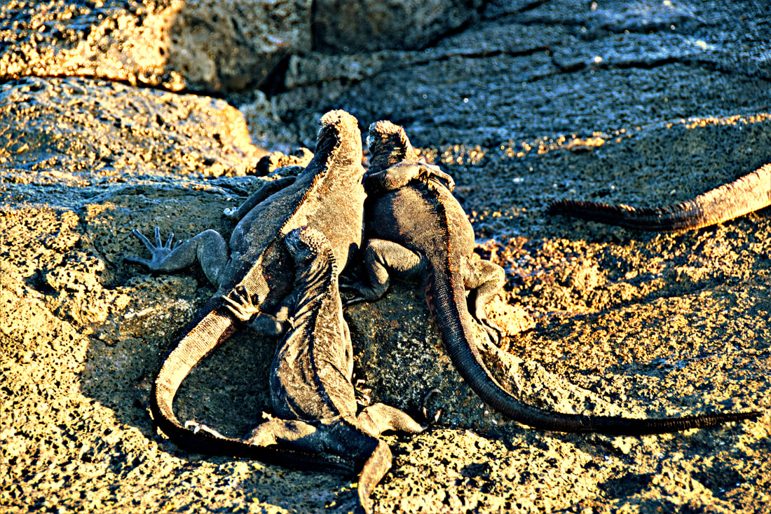 Galapagos Islands Chinese Hat Marine Iguanas