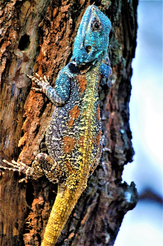 Southern Tree Agama, Satara Camp, Kruger National Park, South Africa