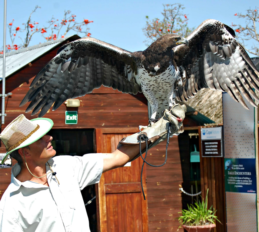 Martial Eagle, Spier, South Africa