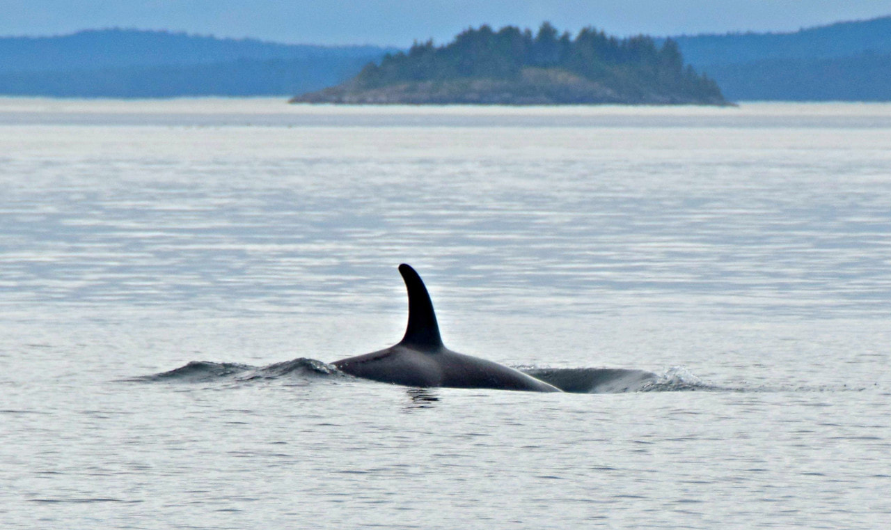 Orca - Blackfish Sound - Vancouver Island Photo Tours