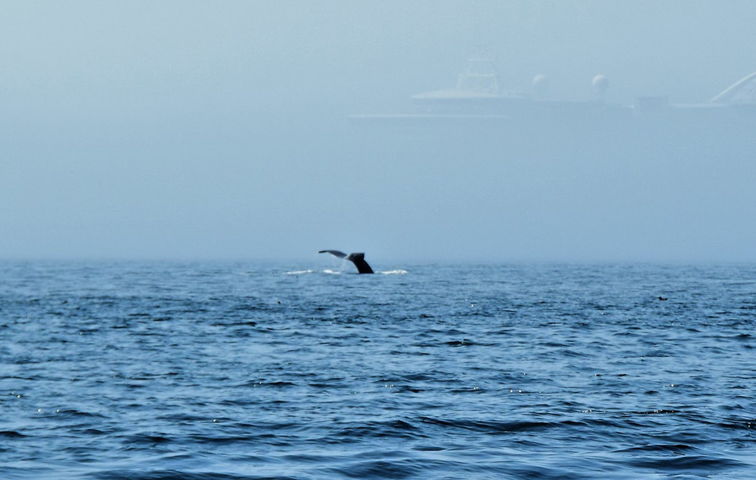 Humpback Whale Tail & Cruise Ship In The Mist, Blackney Pass, Vancouver Island