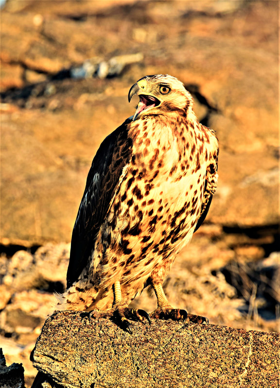 Galapagos Islands Chinese Hat Galapagos Hawk