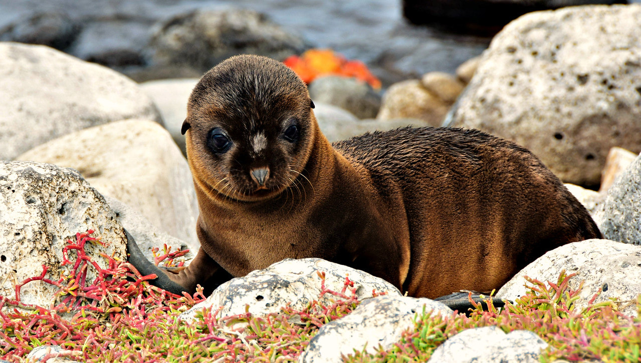 Galapagos Islands South Plaza Island Sea Lion Pup