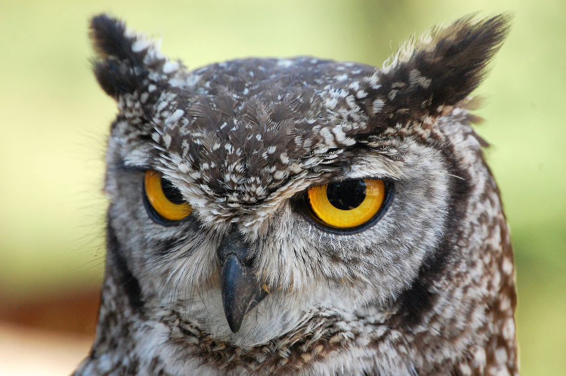 Spotted Eagle Owl, Spier, South Africa