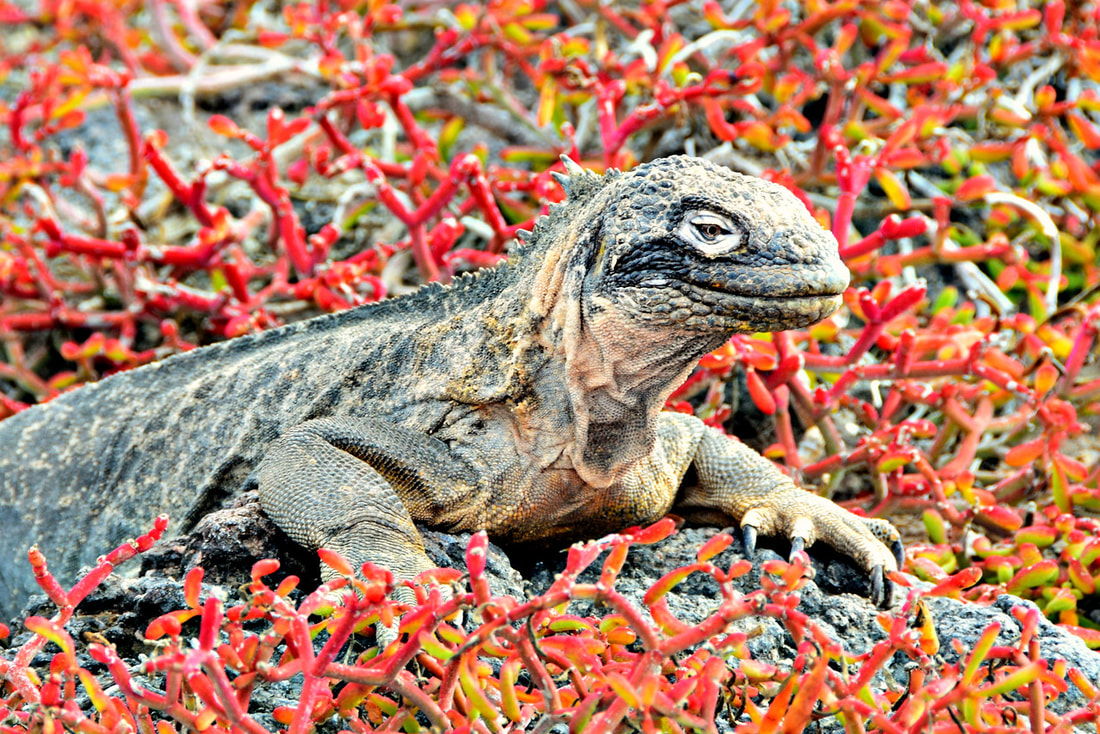 Galapagos Islands South Plaza Island Iguana