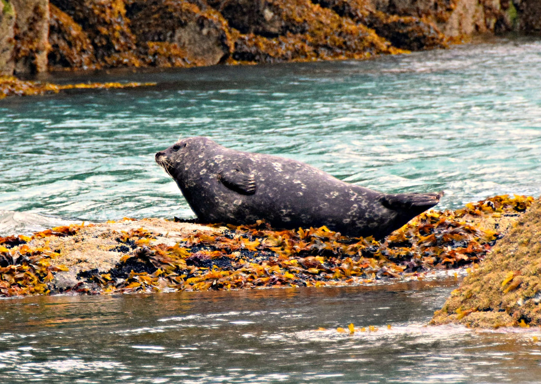 Harbor Seal - Knight Inlet - Vancouver Island Photo Tours