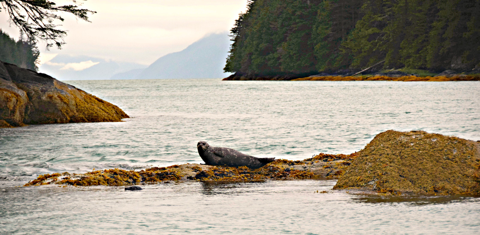 Harbor Seals - Knight Inlet - Vancouver Island Photo Tours