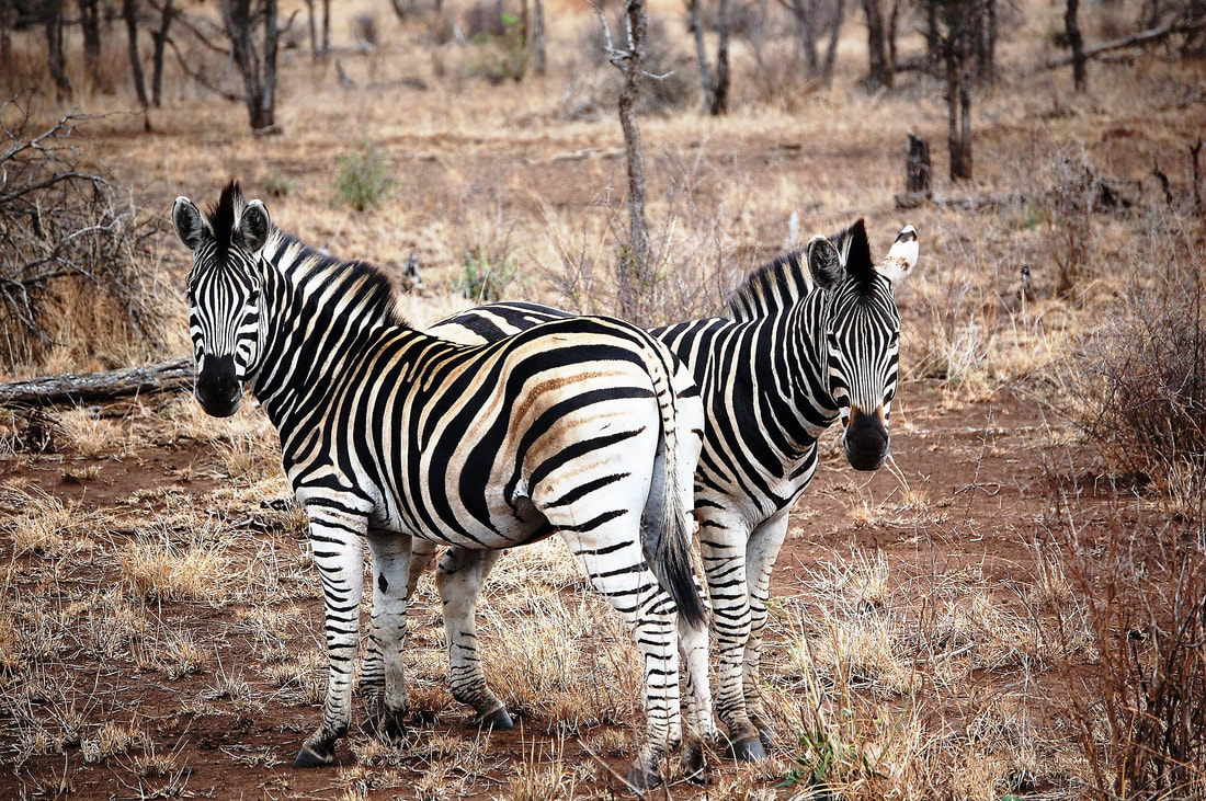 Zebras, Kruger National Park, South Africa