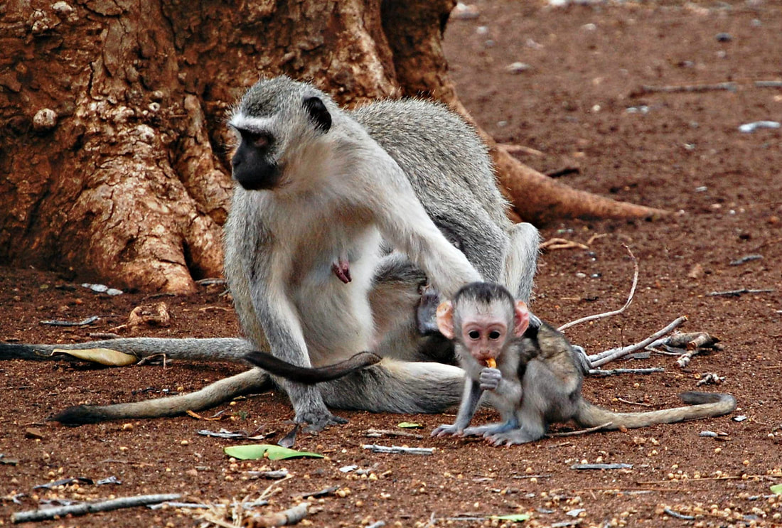 Vervet Monkey Baby, Kruger National Park, South Africa