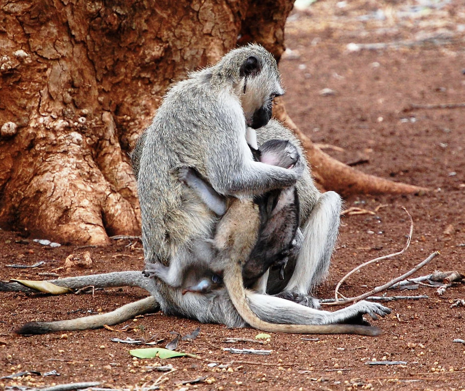 Vervet Monkey Nursing Twins, Satara Camp, Kruger National Park, South Africa