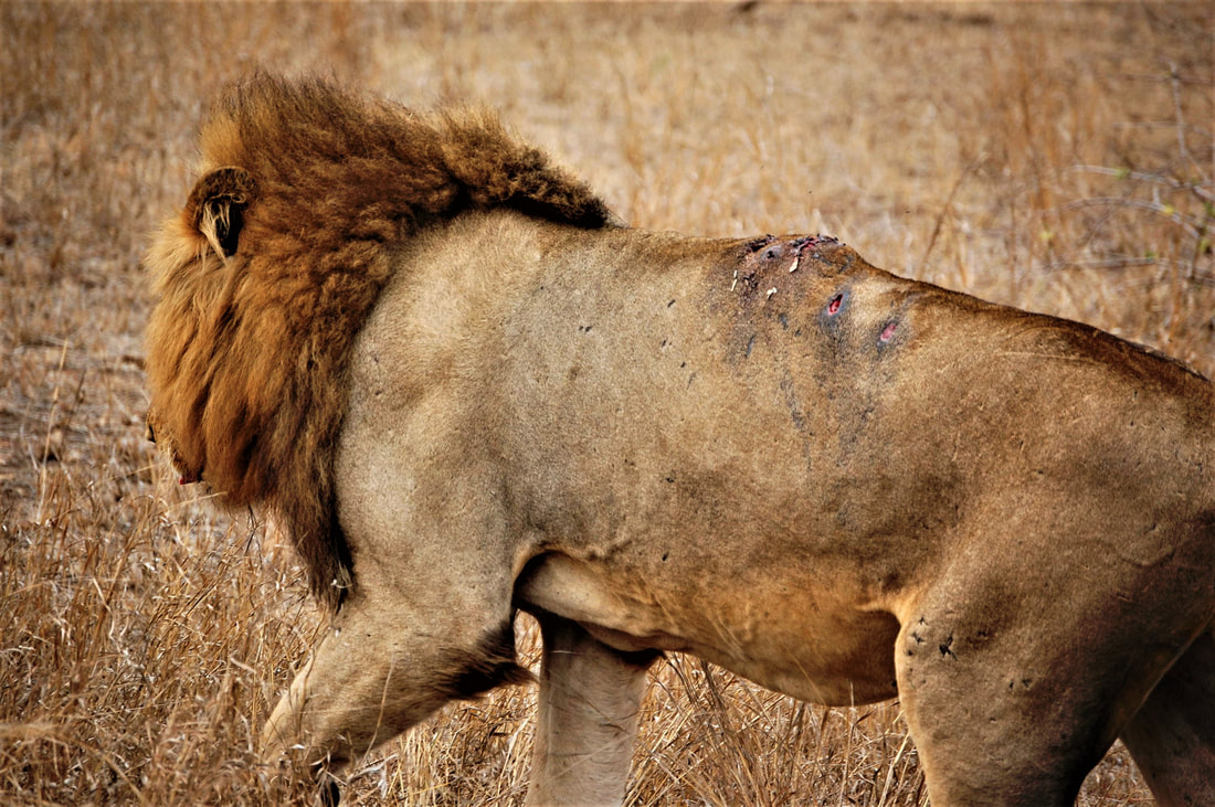 Injured Lion, Kruger National Park, South Africa