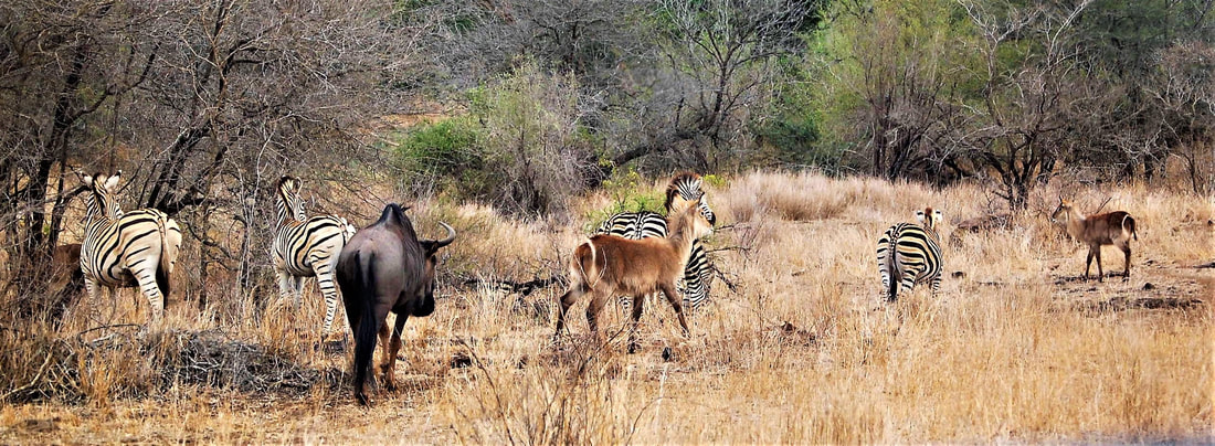 Zebra, Wildebeest, & Waterbuck, Kruger National Park, South Africa