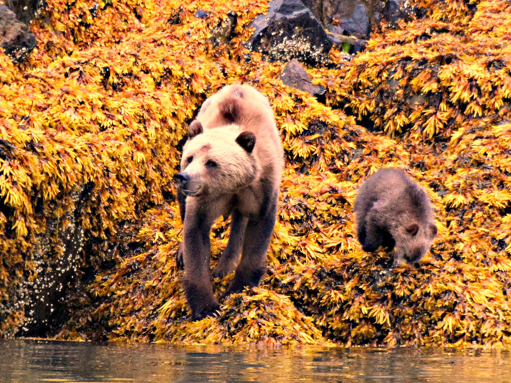 Grizzly & Cub - Glendale Cove, BC - Vancouver Island Photo Tours